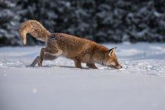 Roter Fox Die Spezies haben eine lange Geschichte der Vereinigung mit Menschen Der rote Fuchs ist eins der wichtigsten furbearing lizenzfreies stockbild