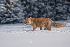 Roter Fox Die Spezies haben eine lange Geschichte der Vereinigung mit Menschen Der rote Fuchs ist eins der wichtigsten furbearing lizenzfreies stockfoto