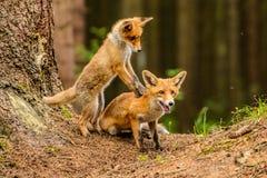 Roter Fox Die Spezies haben eine lange Geschichte der Vereinigung mit Menschen Der rote Fuchs ist eins der wichtigsten furbearing stockfotografie