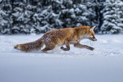 Roter Fox Die Spezies haben eine lange Geschichte der Vereinigung mit Menschen Der rote Fuchs ist eins der wichtigsten furbearing stockbilder