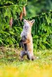 Roter Fox Die Spezies haben eine lange Geschichte der Vereinigung mit Menschen Der rote Fuchs ist eins der wichtigsten furbearing lizenzfreie stockfotos