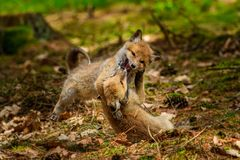 Roter Fox Die Spezies haben eine lange Geschichte der Vereinigung mit Menschen Der rote Fuchs ist eins der wichtigsten furbearing stockfoto
