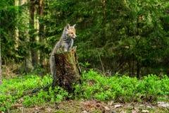 Roter Fox Die Spezies haben eine lange Geschichte der Vereinigung mit Menschen Der rote Fuchs ist eins der wichtigsten furbearing stockfotos