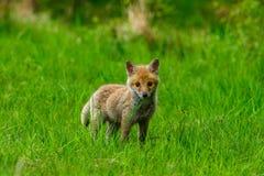 Roter Fox Die Spezies haben eine lange Geschichte der Vereinigung mit Menschen Der rote Fuchs ist eins der wichtigsten furbearing lizenzfreie stockbilder