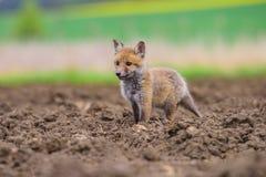 Roter Fox Die Spezies haben eine lange Geschichte der Vereinigung mit Menschen Der rote Fuchs ist eins der wichtigsten furbearing stockbild