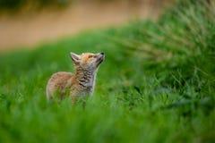 Roter Fox Die Spezies haben eine lange Geschichte der Vereinigung mit Menschen Der rote Fuchs ist eins der wichtigsten furbearing lizenzfreie stockfotografie
