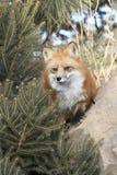 Roter Fox durch Tannenbaum Lizenzfreies Stockbild