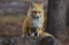 Roter Fox gehockt auf einem Felsen stockfoto
