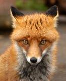 Roter Fox, Großbritannien Lizenzfreies Stockfoto