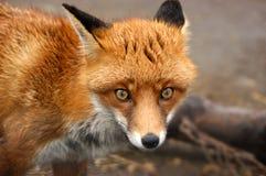 Roter Fox, Großbritannien Stockfotografie