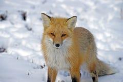 Roter Fox im Schnee, der Kamera betrachtet Stockfotos