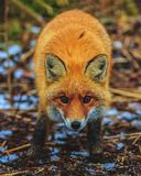 Roter Fox im Wald lizenzfreies stockfoto