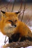 Roter Fox im Winter Stockfotografie