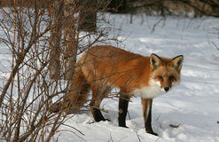 Roter Fox im Winter Stockfotos