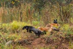 Roter Fox jagt Silber (Vulpes Vulpes) Lizenzfreies Stockbild