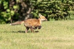 Roter Fox-Kind im Adirondacks Lizenzfreie Stockbilder