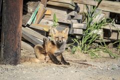 Roter Fox-Kind im Adirondacks Stockbilder