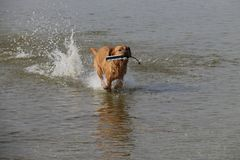 Roter Fox Labrador Retriver holt Attrappe vom See zurück stockbilder