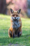 Roter Fox-Morgen Stockbild
