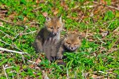 Roter Fox-Sätze Lizenzfreies Stockbild