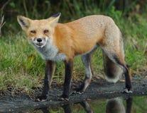 Roter Fox-Schauen Stockfotografie