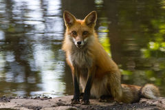 Roter Fox-Teich 2 Lizenzfreie Stockfotos