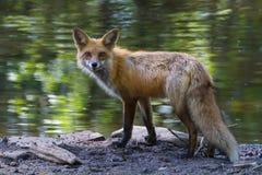 Roter Fox-Teich lizenzfreies stockbild