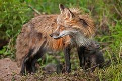Roter Fox-Vixen mit Ausrüstungen (Vulpes Vulpes) schaut nach links Stockfotografie