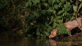 Roter Fox, Vulpes Vulpes, erwachsener Überfahrt Fluss, Normandie in Frankreich, stock video footage