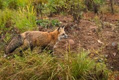 Roter Fox-Vulpes Vulpes schaut intensiv recht stockbilder