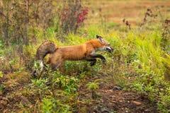 Roter Fox-Vulpes Vulpes springt nach rechts Lizenzfreie Stockfotografie