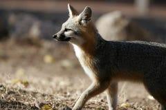 Roter Fox, Vulpes Vulpes Stockbilder
