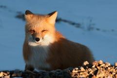 Roter Fox. Vulpes Vulpes Lizenzfreie Stockfotos