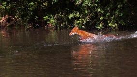 Roter Fox, Vulpes Vulpes, erwachsener Überfahrt Fluss, Normandie stock video