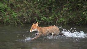 Roter Fox, Vulpes Vulpes, erwachsener Überfahrt Fluss, Normandie in Frankreich, stock video