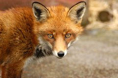 Roter Fox, Vulpes Vulpes, Großbritannien stockfotos