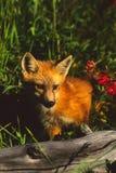 Roter Fox-Welpe, der in den Wildflowers sitzt Lizenzfreie Stockfotografie