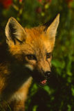 Roter Fox-Welpen-Portrait Lizenzfreies Stockbild