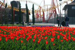 Roter Frühlings-Tulpen Stockfotografie