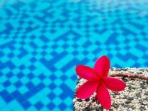 Roter Frangipani u. x28; plumeria& x29; blüht Pagodenbaum auf Swimmingpool Lizenzfreie Stockfotografie