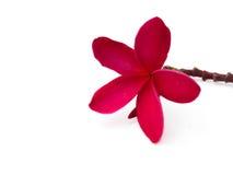 Roter Frangipani u. x28; plumeria& x29; Blumen auf weißem Hintergrund Stockfotos