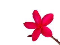 Roter Frangipani u. x28; plumeria& x29; Blumen auf weißem Hintergrund Lizenzfreie Stockfotos
