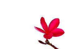 Roter Frangipani u. x28; plumeria& x29; Blumen auf weißem Hintergrund Lizenzfreies Stockfoto