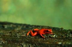 Roter Frosch stockfotos