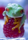 Roter Frosch Lizenzfreies Stockfoto