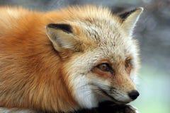 Roter Fuchs Lizenzfreie Stockfotografie