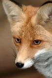 Roter Fuchs Lizenzfreie Stockbilder