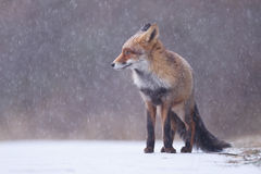 Roter Fuchs Stockfotos