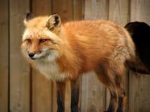 Roter Fuchs Stockbilder