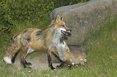 Roter Fuchs Lizenzfreies Stockbild